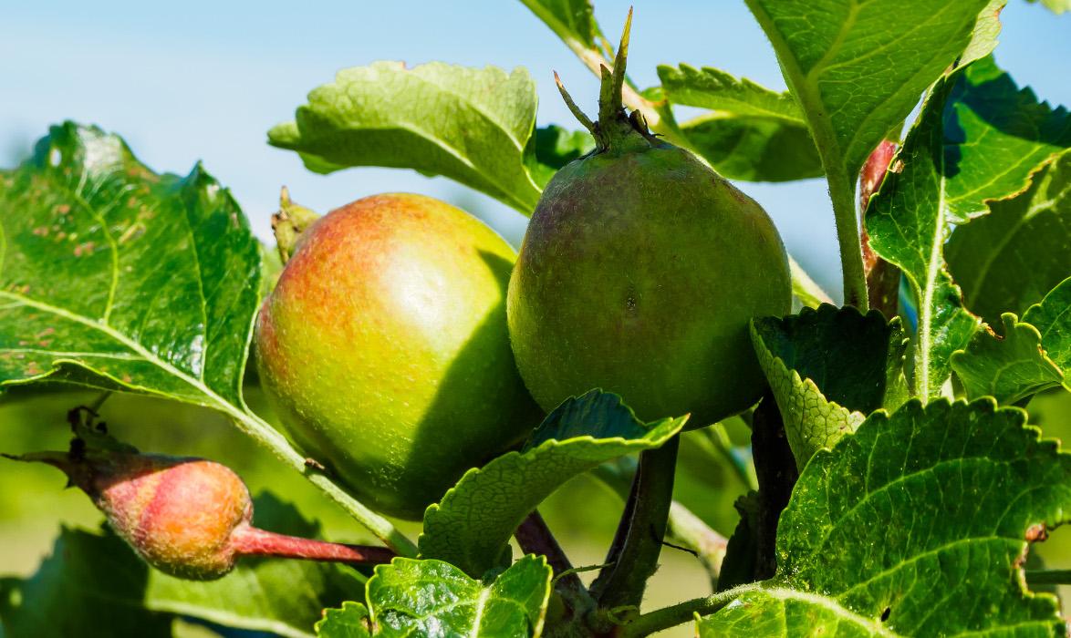 Apfelernte_kl