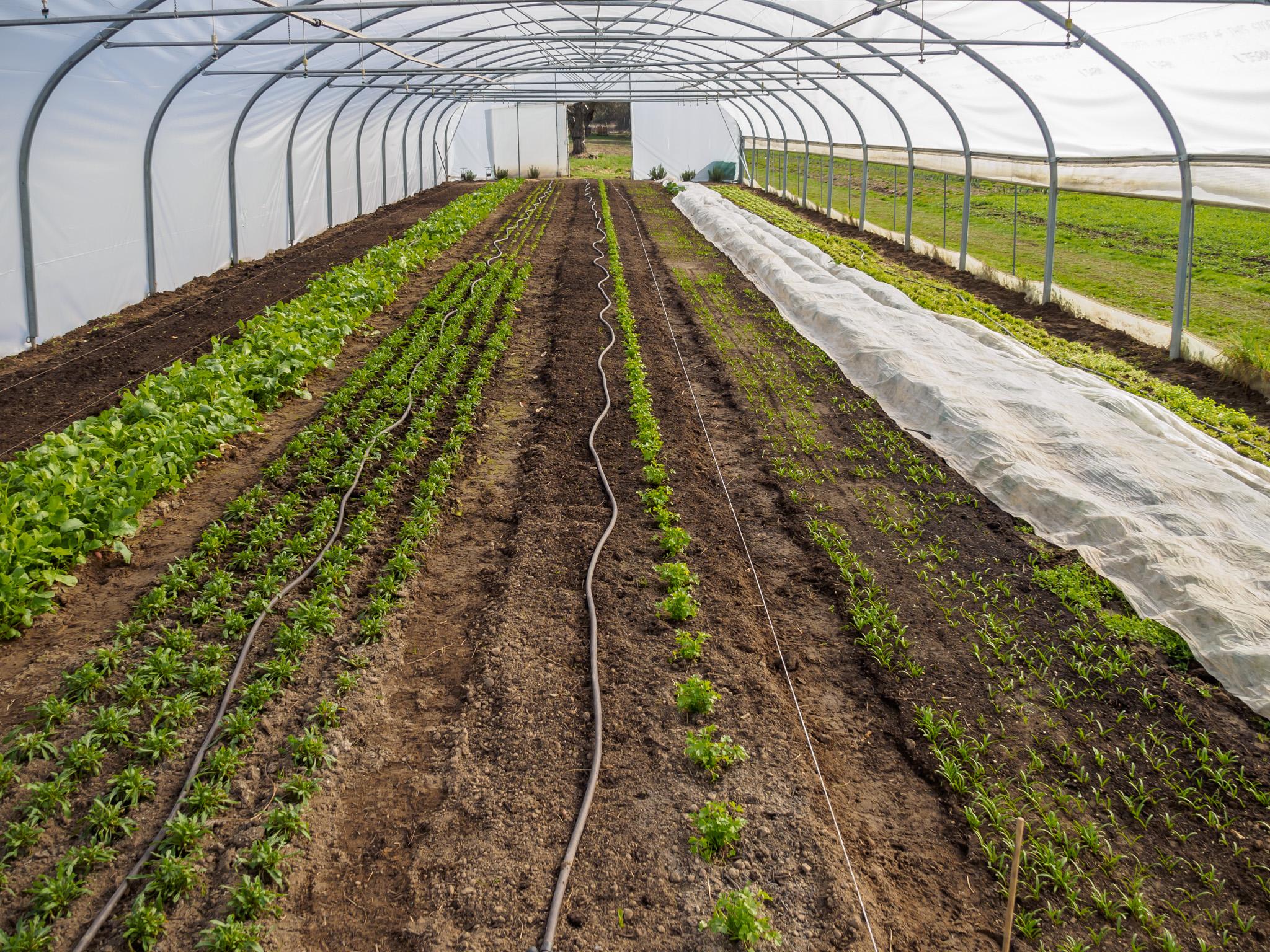 MK_Folientunnel mit Salat Frühjahr